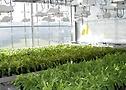 plantacion diente de leon