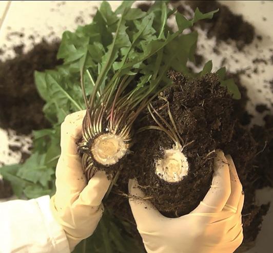 Το φυτό πικραλίδα